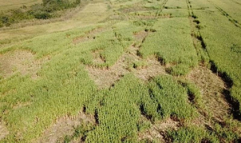 Ataque de porcos selvagens destrói 15% de lavoura de milho de produtor em MT